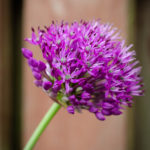 Allium-Update