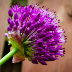 Allium-Update-2