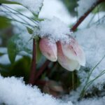 Hellebore flowers in snow