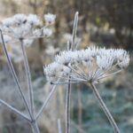 Frosty Seedhead